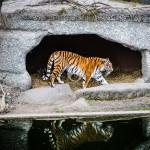 Tiger auf der Jagt by MarkDeu
